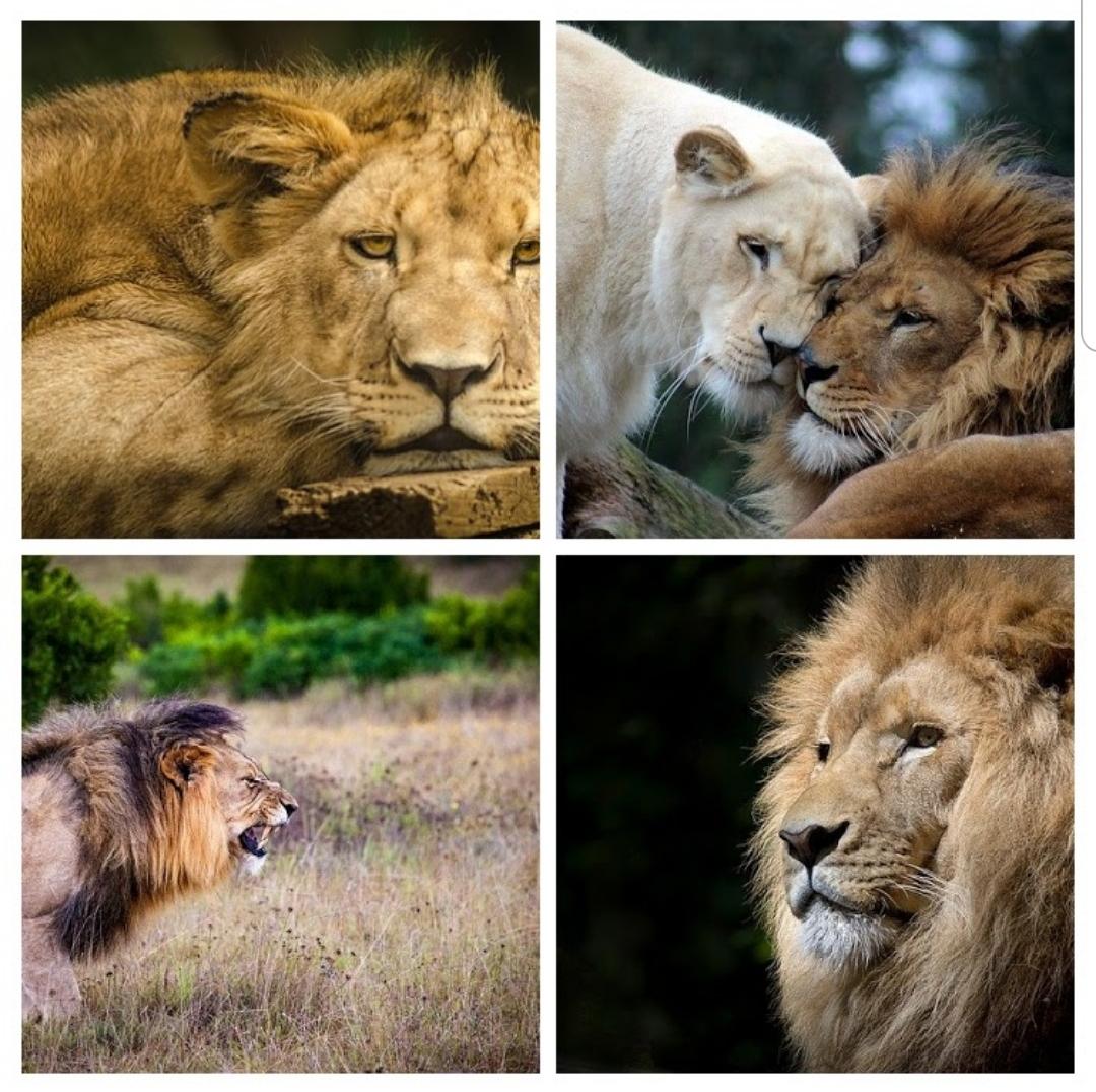émotion lion colere calin,ennuis